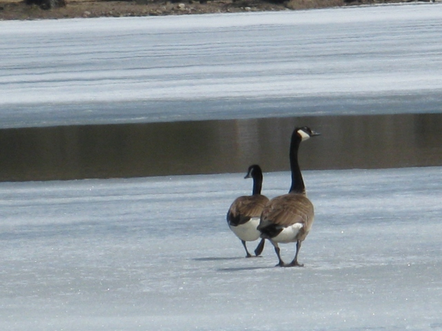 Geese in the early spring, submitted by Jean Maess